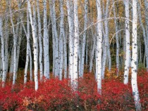 Fall Colors in the Aspen Wasatch Forest Utah