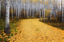 Fall comes to an Aspen forest near Snowmass Colorado