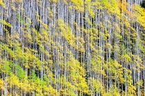 Fall popping in Ashcroft CO near Aspen taken last weekend I really tried to focus in on smaller groves to show their complexity in texture and spacing  OC