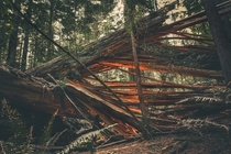Fallen Redwood Avenue of the Giants Humboldt County CA