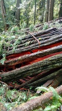 Fallen redwood glowing like embers near Orick California