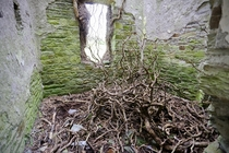 Fallen Vines in a Mortuary Hospital from the Irish Famine