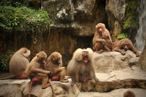 Family of Baboons xD
