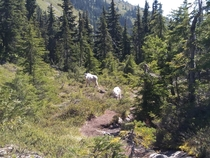 Family of Mountain Goats in the Olympic Mountains yesterday