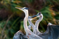 Family photo of a mother great blue heron and her two kids