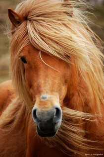 Faroese horse Loreal because youre worth it
