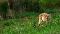 Fawn in Bombay Hook Delaware