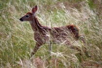 Fawn in high grasses inside the cemetery grounds near Mount Rose Nebraska  A photo I was lucky to have taken x