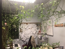 Feed me Seymour In my office a coworker has been growing this vine for years The office manager wants it gone I like it