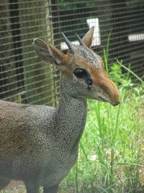 Feel the WRATH of the mighty Dik-Dik