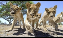 Femal lions in Africa picture taken by Chris McLennan