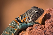 Female Collarded Lizard in the Wichita Mountains National Wildlife Refuge OK by Christopher Neel  x-post rHI_Res