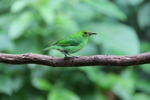Female green honeycreeper