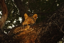 Female leopard in South Africas Kruger National Park