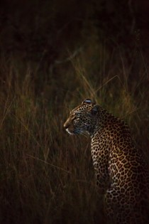 Female leopard Panthera pardus sitting in tall grass Sabi Sand Wildtuin South Africa