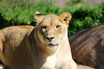 Female Lioness in the SD safari zoo