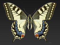 Female Old World swallowtail butterfly Papilio machaon Lot France by Didier Descouens