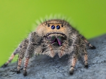 Female regal jumping spider Phidippus regius  x