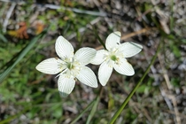 Fen grass of Parnassus Parnassia glauca Singing Sands Bruce Peninsula National Park Ontario Canada