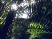 Ferns in the Otways Australia