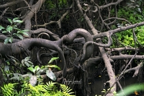 Ficus roots in a lowland freshwater swamp NE Vietnam