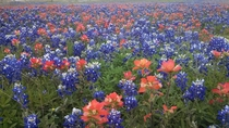 Field of Bluebonnets amp Indian Paintbrushes in Austin Tx