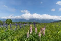 Field of Lupines in front of Franconia Notch NH