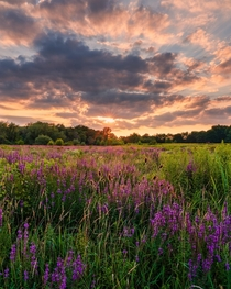 Field of Purple Loosestrife in Akron OH