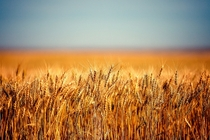 Field of Wheat - A field full of golden ripe wheat south of Chinook Montana By Todd Klassy