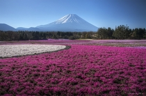 Fields of flowers at the foot of Mount Fuji Japan  photo by q