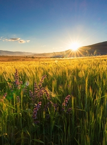 Fields of gold in my hometown of Livno Bosnia Cant wait for this summer