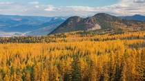Fields of larch in the North Okanagan British Columbia