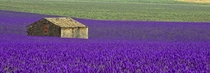Fields of Lavender in Provence France  by Alain M