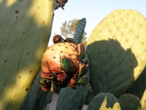 Figeater Beetles Cotinis mutabilis feasting on the fruit of Spineless Prickly Pear Opuntia ellisiana  xpost rPicsofCatwalker
