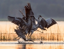 Fighting Cranes