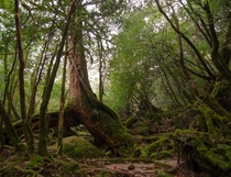 Finally got to visit the forests of Yakushima Japan which inspired the setting of the movie Princess Mononoke OC
