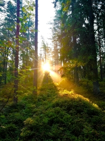 Finnish forest in the morning