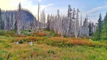 Fire regrowth Mt Hood National Forest Oregon  OC