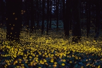 Fireflies Lighting Up the Forest Night by Tsuneaki Hiramatsu Okayama Japan
