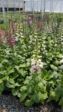 first digitalis blooms in the greenhouse summer  So excited about the coming summer