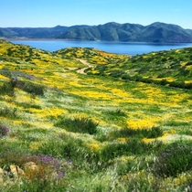 First time posting here Superbloom at its peak Diamond Valley Lake CA