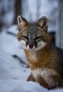 First time posting my friend said you guys would like this Gray Fox in my front yard Northern Adirondacks Urocyon cinereoargenteus borealis