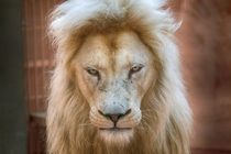 Five-year old white lion Ludwig in a private zoo west of Kiev Ukraine