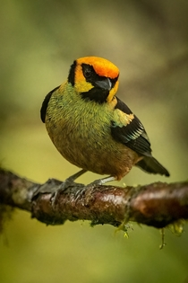 Flame-faced Tanager west slope variation