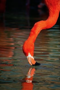 Flamingo Enjoying a Drink