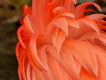 Flamingo Feathers Phoenicopterus