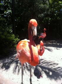 Flamingo up closePhoenicopterus