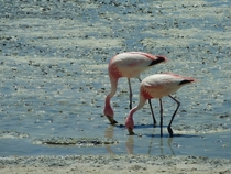 Flamingos in the Bolivian Altiplano