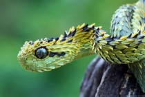 Flawless Bush Viper
