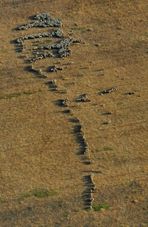 Flock of sheep in Dobrogea